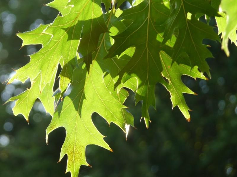 liście dębu
